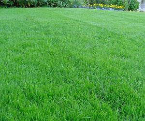 Выбираем траву для газона